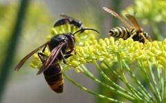 ICNF apela ao controlo e vigilância da vespa velutina
